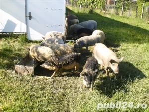 Purcei si porci de rasa pura mangalita cu Pedigree - imagine 7