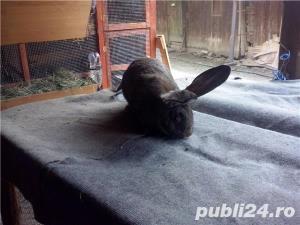 Vand iepuri Urias German - imagine 5