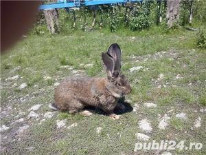 Vand iepuri  urias german. - imagine 1