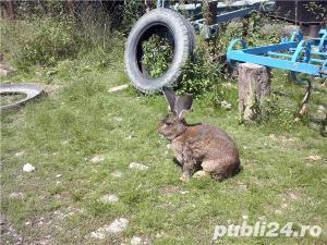 Vand iepuri  urias german. - imagine 5