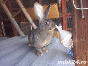 Vand iepuri  urias german. - imagine 4