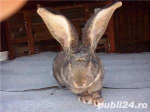 Vand iepuri  urias german. - imagine 3