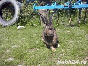 Vand iepuri  urias german. - imagine 6