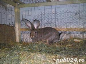 Vand iepuri Urias German - imagine 7