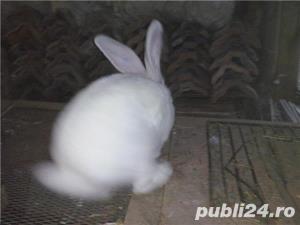 Vand  iepuri  Urias  German  ALB - imagine 3
