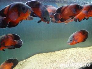 Vand pesti de acvariu, Astronotus ocellatus - imagine 2