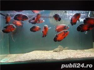 Vand pesti de acvariu, Astronotus ocellatus - imagine 5
