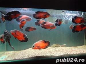 Vand pesti de acvariu, Astronotus ocellatus - imagine 3