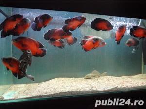 Vand pesti de acvariu, Astronotus ocellatus - imagine 4
