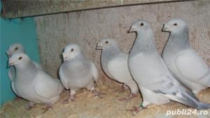 Porumbei voiajori standard de vanzare - imagine 7