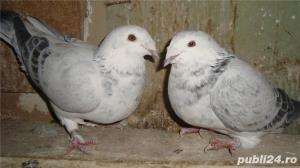 Porumbei voiajori standard de vanzare - imagine 8
