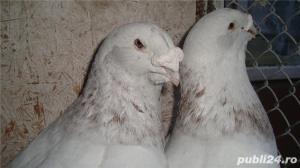 Porumbei voiajori standard de vanzare - imagine 9