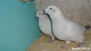 Porumbei voiajori standard de vanzare - imagine 10