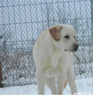 Monta labrador cu pedigree-CAMPION Juniori Romania- pt monta - imagine 3