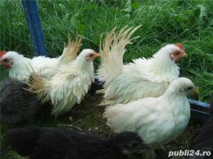 De vanzare fazani si alte pasari - imagine 2