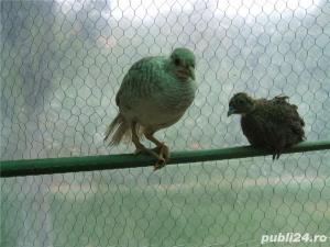 De vanzare fazani si alte pasari - imagine 3