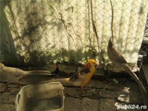 De vanzare fazani si alte pasari - imagine 4