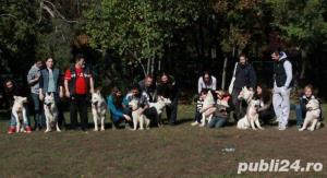 RARITATE, pui de lupi albi, ciobanesc alb elvetian - imagine 5