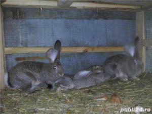 Vand iepuri Urias German - imagine 10