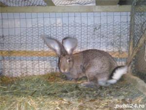 Vand iepuri Urias German - imagine 11