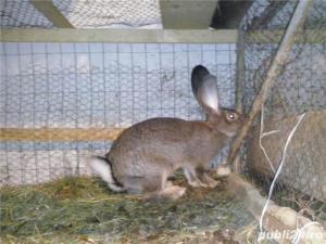 Vand iepuri Urias German - imagine 15