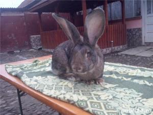Vand iepuri Urias German - imagine 17