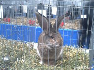 Vand iepuri Urias German - imagine 19