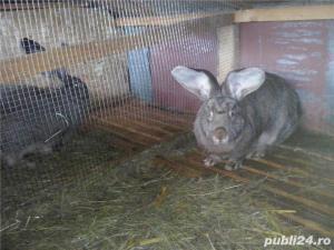 Vand iepuri  urias german. - imagine 10