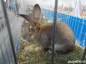 Vand iepuri Urias German - imagine 20