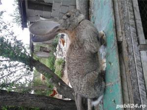 iepuri urias gri german alb.californian debrecen - imagine 3