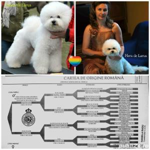 Vand Bichon Frise cu pedigree si pasaport international - imagine 1