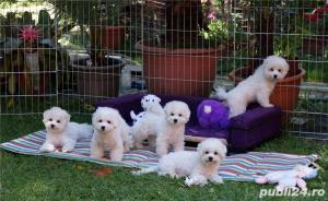 Vand Bichon Frise cu pedigree si pasaport international - imagine 9