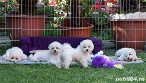 Vand Bichon Frise cu pedigree si pasaport international - imagine 8
