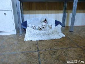 Vand Bichon Frise cu pedigree si pasaport international - imagine 5