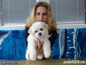 Vand Bichon Frise cu pedigree si pasaport international - imagine 13