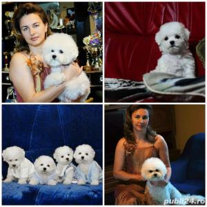 Vand Bichon Frise cu pedigree si pasaport international - imagine 17