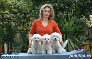 Vand Bichon Frise cu pedigree si pasaport international - imagine 18