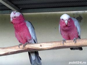 vand pui papagali Jako ,ara,cocktoo, csique - imagine 4