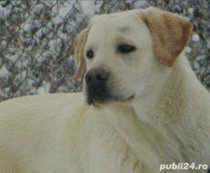 Monta labrador cu pedigree-CAMPION Juniori Romania- pt monta - imagine 4