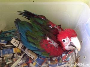 Vand pui papagali Jako si ara  - imagine 2
