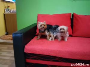 Monta mascul Yorkshire Terrier - imagine 4