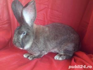 Vand iepuri Urias German gri si alb. - imagine 4