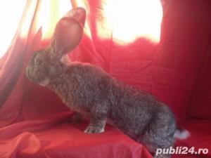Vand iepuri Urias German gri si alb. - imagine 7