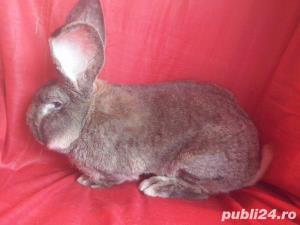 Vand iepuri Urias German gri si alb. - imagine 6