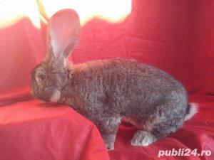 Vand iepuri Urias German gri si alb. - imagine 11