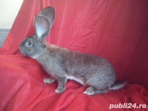 Vand iepuri Urias German gri si alb. - imagine 13
