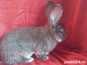 Vand iepuri Urias German gri si alb. - imagine 2