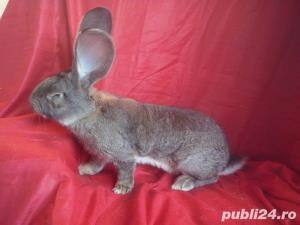 Vand iepuri Urias German gri si alb. - imagine 15