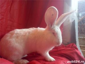 Vand iepuri Urias German gri si alb. - imagine 18