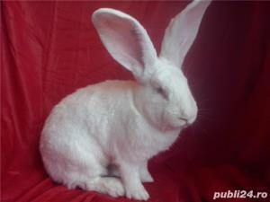 Vand iepuri Urias German gri si alb. - imagine 19